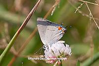 03191-006.06 Gray Hairstreak (Strymon melinus) on white clover (Trifolium repens) Marion Co., IL