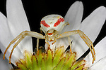 White and Red Crab Spider on the underside of a flower.