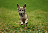 FAO JANET TOMLINSON, DAILY MAIL PICTURE DESK<br /> Pictured: A dog runs in one of the fields Monday 14 November 2016<br /> Re: The Dog House in the village of Talog, Carmarthenshire, Wales, UK