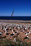 Black-browed Albatross colony on South Georgia Island.