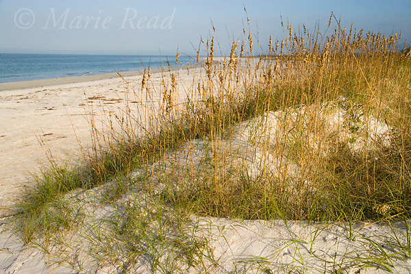 Sea Oats (Uniola paniculata) on sand dunes along a beach in winter, Fort De Soto Park, Florida. Sea Oats are vital dune plants that create beach dunes by collecting blowing sands. They also provide cover and food for birds.