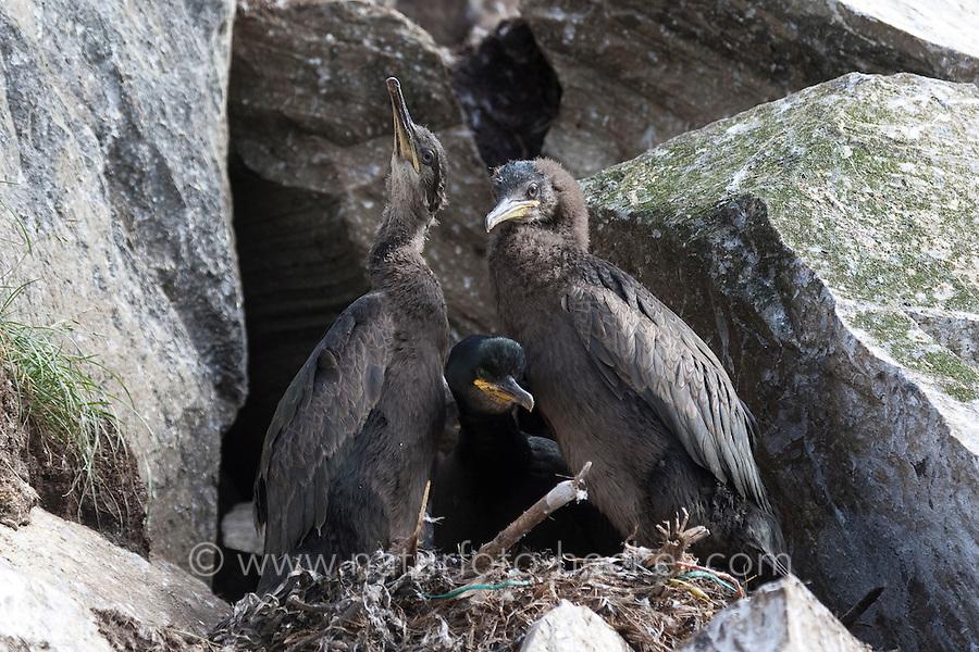 Krähenscharbe, Altvogel mit Küken im Nest, Krähen-Scharbe, Phalacrocorax aristotelis, shag