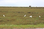 Snowy egrets in China Camp State Park