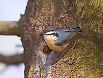 Red-breasted Nuthatch (Sitta canadensis) female at nest hole in a pine trunk, Ithaca, New York, USA