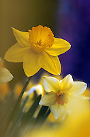 Daffodils in soft focus