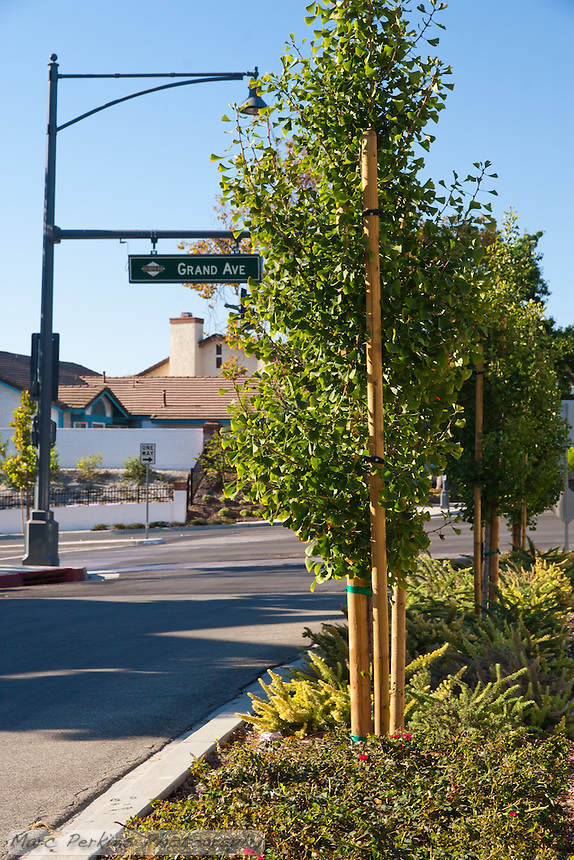 """Ginkgo trees fill the northern median of the Grand Ave (sign visible) and Longview intersection. This was part of the 2015 rebuild of the Grand Avenue and Longview Drive intersection for Diamond Bar's 2015 """"Grand Avenue Beautification"""" project, landscape architecture for the project was by David Volz Design."""