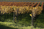 The vineyard of Napa Valley, California.