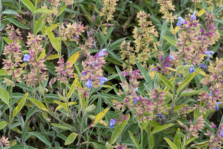 Salvia officinalis 'Albiflora' culinary sage herb in bloom flowering