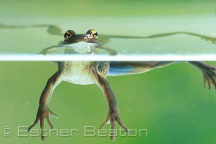 Green and Golden Bell Frog (Litoria aurea).floating at surface of water. Threatened species