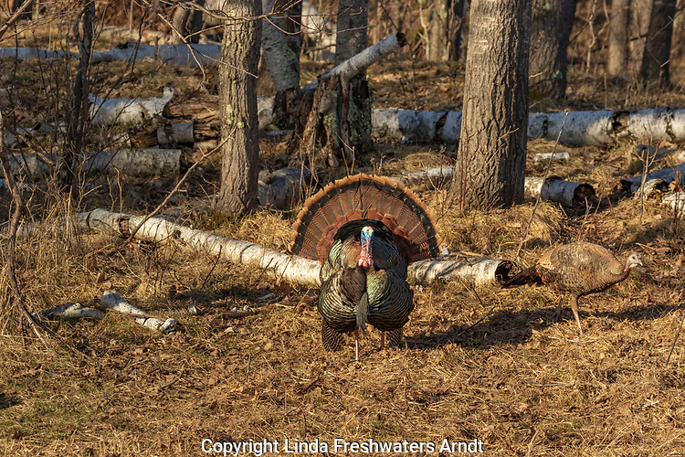 Tom turkey strutting for a hen in northern Wisconsin (hen is well camouflaged).