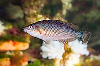Kleinmäuliger Lippfisch, Centrolabrus exoletus, Labrus exoletus, Acantholabrus exoletus, Rock cook, Rock-cook, Small-mouthed wrasse, Smallmouthed wrasse, Lippfische, Labridae