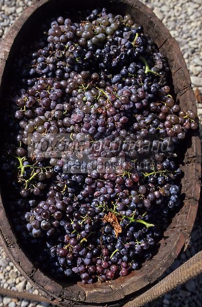 Europe/France/Languedoc-Roussillon/66/Pyrénées-Orientales/Banyuls-sur-Mer: vendanges de raisins rouge en panier AOC Banyuls