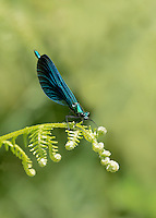 Beautiful Demoiselle - Calopteryx virgo - male