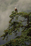 Bald Eagle / Kenai Fjords Tour out of Seward Alaska.  Day 3.  Bob Gathany photo.