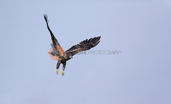 Juvenile Bald Eagle taking off in flight against clear blue sky