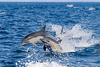 long-beaked common dolphins, Delphinus capensis (formerly Delphinus delphis), porpoising out of the water at high speed, off San Diego, California, USA, (Eastern Pacific Ocean)