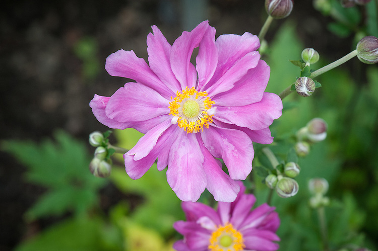 Anemone hupehensis var. japonica 'Prinz Heinrich', mid August. A Japanese anemone with semi-double, deep pink flowers that fade as they age.