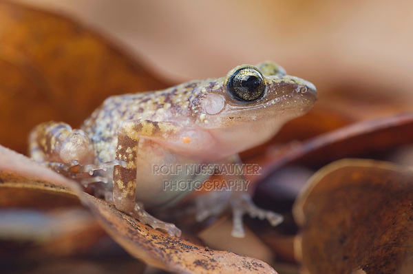 Cliff Chirping Frog, Eleutherodactylus marnockii, adult on leaf litter, Uvalde County, Hill Country, Texas, USA