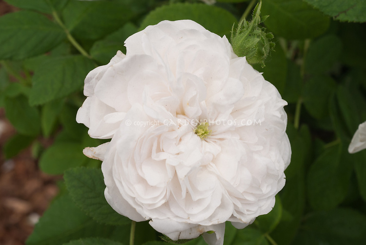 Rosa 'Madame Hardy' white pink rose, otherwise known as 'Félicité Hardy', is a white damask rose bred in Paris in 1832 by Alexandre Hardy. Antique old rose, heirloom rose, fragrant