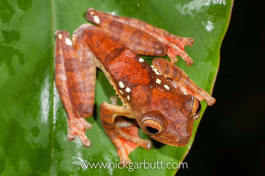 Harlequin Tree Frog (Rhacophorus pardalis) in amplexus. At night at temporary pool formed after rain. Danum Valley, Sabah, Borneo.
