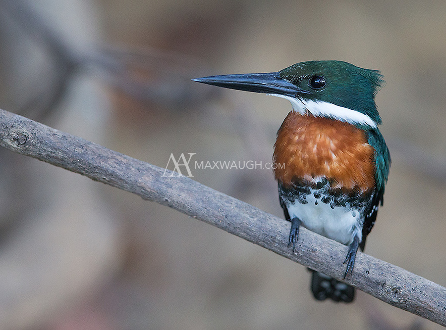 We saw four of the Pantanal's five species of kingfishers during this trip.