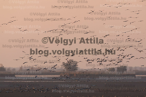 Tens of thousands of cranes (Grus grus) fly over the Great Plain of Hortobagy (about 180 kilometres East of capital city Budapest), Hungary on Nov. 03, 2017. ATTILA VOLGYI
