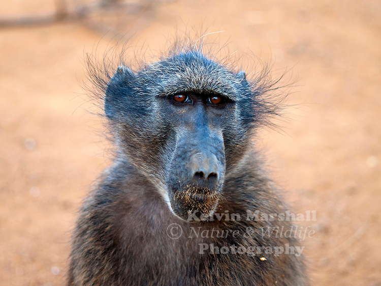 The Chacma Baboon (Papio ursinus) is a large monkey with a dog-like face and large, prominent canines. These features give it a more aggressive appearance than other primates. The chacma baboon lives in family groups of up to 150 individual and these troops have no single dominant male. Baboons are notorious for becoming a pest around humans where they often disturb rubbish bins. They will tear open tents in their search for free food with consummate ease.