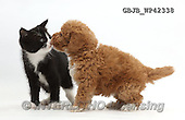 Kim, ANIMALS, REALISTISCHE TIERE, ANIMALES REALISTICOS, fondless, photos,+Black-and-white kitten, Solo, 6 weeks old, nose-to-nose with F1b toy Goldendoodle puppy.,++++,GBJBWP42338,#a#