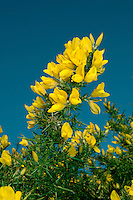 GORSE Ulex europaeus (Fabaceae) Height to 2m<br /> Evergreen shrub with straight, grooved spines, 15-25mm long. Found on heaths and grassy places, mainly on acid soils. FLOWERS are 2cm long, bright yellow and coconut-scented with 4-5mm-long basal bracts (Jan-Dec, but mainly Feb-May). FRUITS are hairy pods. LEAVES are trifoliate when young. STATUS-Widespread and common throughout.