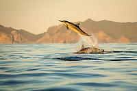 spinner dolphin, Stenella longirostris, jumping, leaping, at sunset, Chichi-jima, Bonin Islands, Ogasawara Islands, UNESCO World Heritage Site, Japan, Pacific Ocean