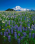 Mt. Baker-Snoqualmie National Forest, WA<br /> Mount Baker towers above a summer meadow filled with lupine and bistort in Mount Baker Wilderness Area