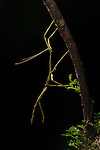 Praying Mantis at night on a rainforest branch, Costa Rica