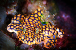 A magnificent ceratosoma (Ceratosoma magnificum) nudibranch on coral, Russell Islands, Solomons
