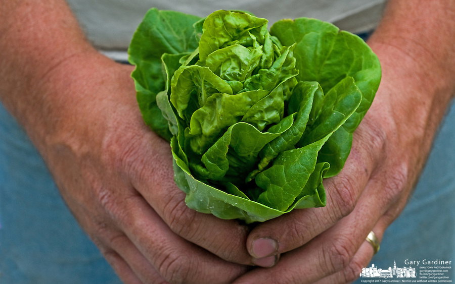 A farmer holds a head of early leaf lettuce he sells on the first day of a farmers market. Photo Copyright Gary Gardiner. Not be used without written permission detailing exact usage.