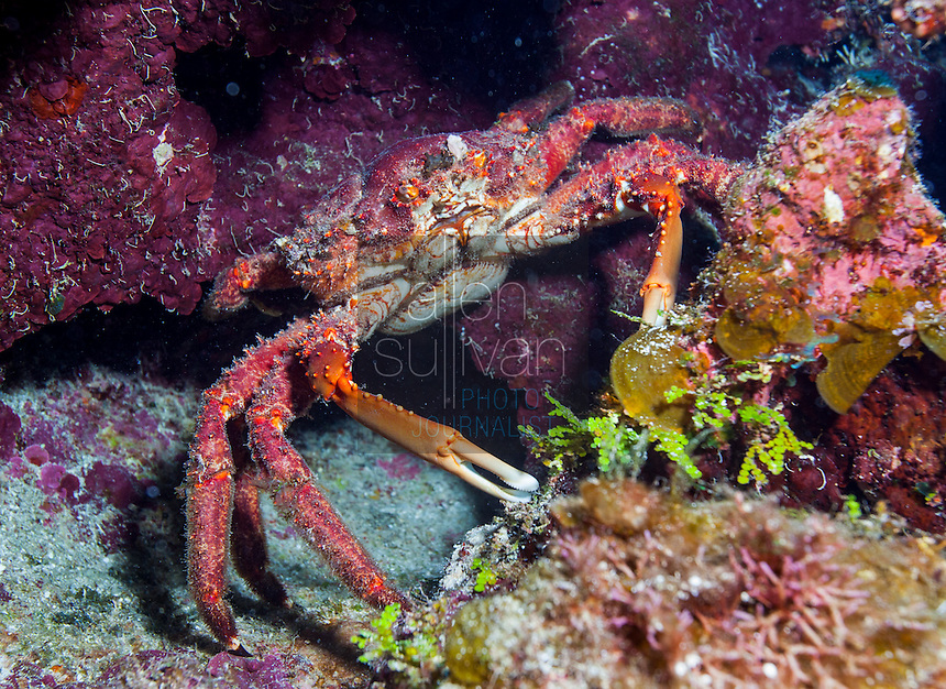 Channel clinging crab (Mithrax spinosissimus) on coral reef at Blue Channel dive site; Roatan, Honduras.