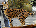 serval at The Living Desert
