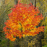 Autumn Tree, Lake Sammamish State Park, Washington