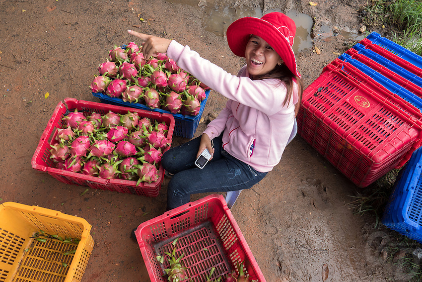 This very charming Vietnamese Girl sorting Dragon Fruit for Whole Sale along the road amongst many Dragon Fruit Farms, Orchards in northern Vietnam, north of Hanoi.