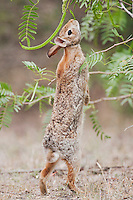 Eastern Cottontail (Sylvilagus floridanus), adult eating beans of Honey Mesquite tree (Prosopis glandulosa), Sinton, Corpus Christi, Coastal Bend, Texas, USA