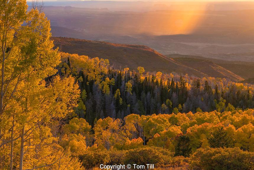 Aspens and rain on the desert, La Sal Mountains, Utah Manti-La Sal National Forest   Quaking aspen,  Populus tremuloides