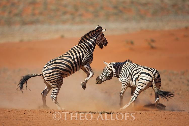 Namibia, Namib Desert, Namibrand Nature Reserve, zebra stallions fighting (Equus burchelli)