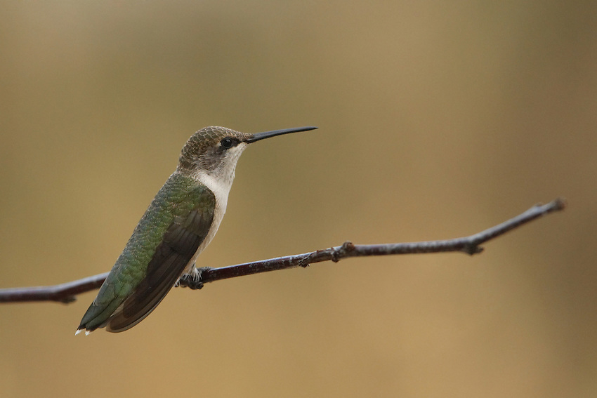 Black-chinned female, early morning.