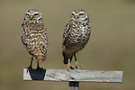 Burrowing Owl, Athene cunicularia, pair on post, Florida, male and female. .USA....