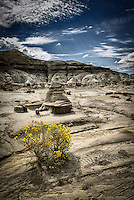 A lone chamisa grows in a remote section of the Bisti Wilderness and stands in contrast to the the surrounding rock and sand.