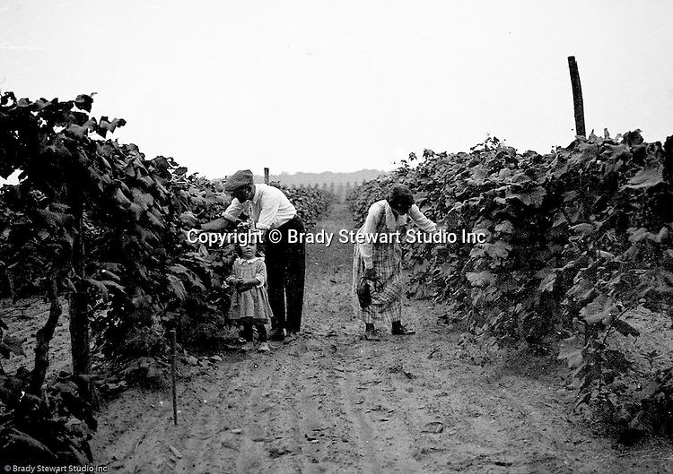 North East PA:  View of Brady, Sarah and Helen Stewart picking grapes at a winery near North East PA.