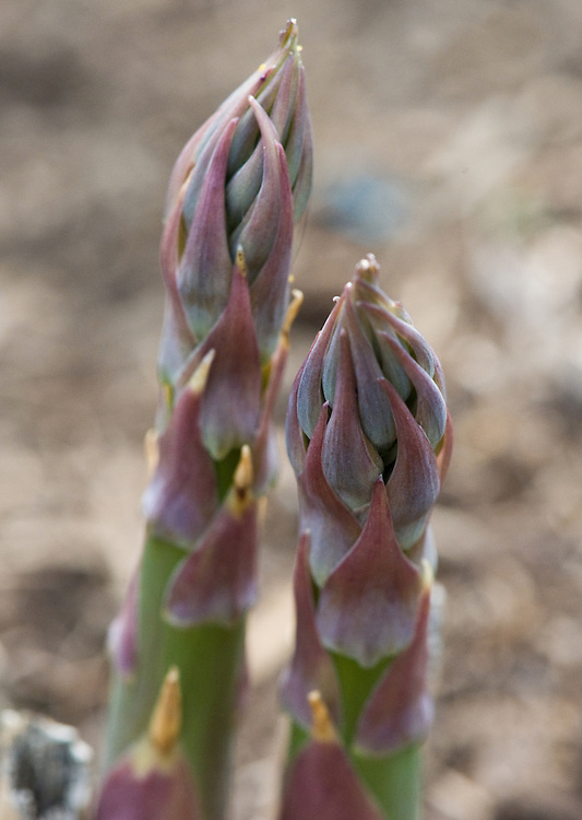 Spears of asparagus 'Gijnlim', allotment, end April.