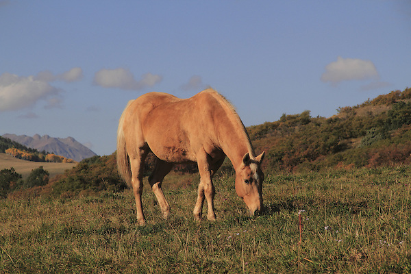 Horses grazing in pasture in the San Juan Mountains, Colorado.