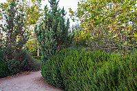 Myrsine africana (African Boxwood) hedge with Juniper; Arlington Garden, Pasadena