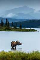 Cow moose feeds in Wonder Lake during rain in Denali National Park, Alaska  Summer<br /> <br /> Photo by Jeff Schultz/SchultzPhoto.com  (C) 2018  ALL RIGHTS RESERVED<br /> <br /> Amazing Views-- Into the wild photo tour 2018