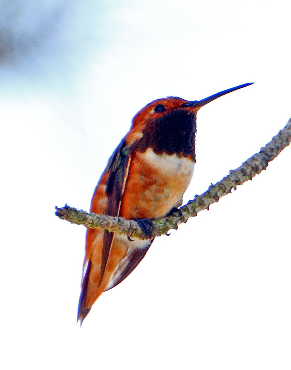 Adult male Allen's hummingbird